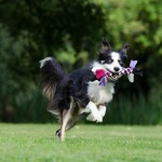 border-collie-672634_1280